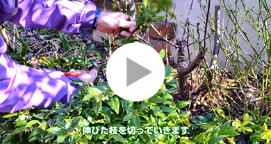 『サルココッカ』冬のお手入れ(1月・2月) メイン写真