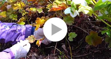『ヒューケラ』多年草の冬のお手入れ メイン写真