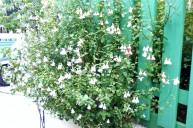 フェンスからこぼれる植物 ガーデニング