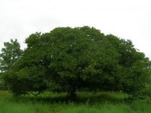 カシューの木