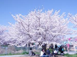 桜の下で団欒