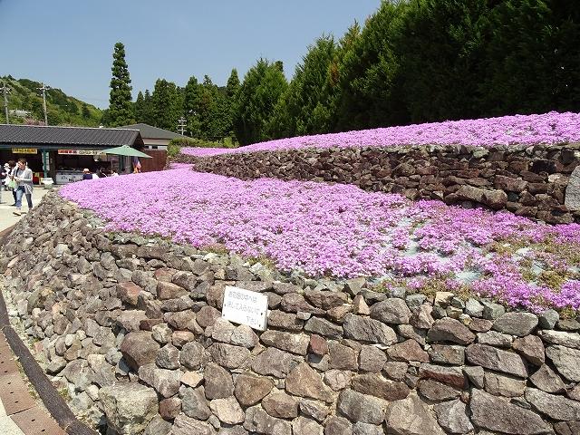 芝桜 (2)