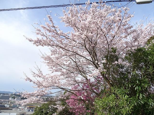 三田市の桜