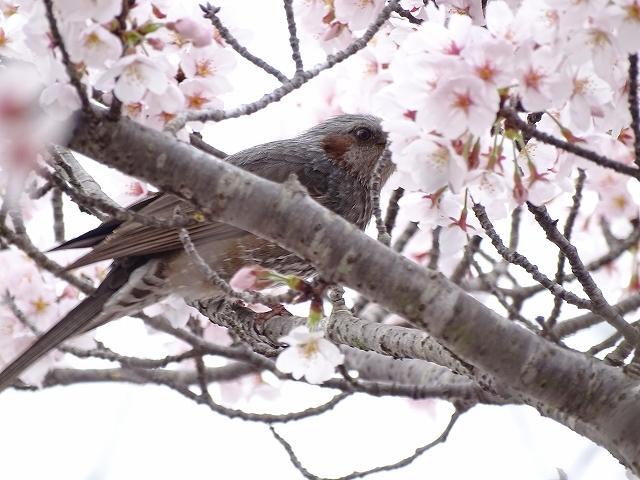 三田桜 (6)