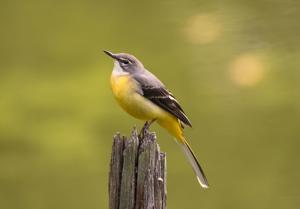 Grey_wagtail_at_Tennōji_Park_in_Osaka,_November_2016_-_890